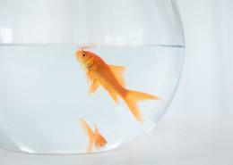鱼缸里的金鱼图片(9张)