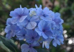 蓝色的绣球花图片(13张)