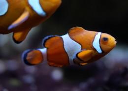 海中的小丑鱼图片(10张)