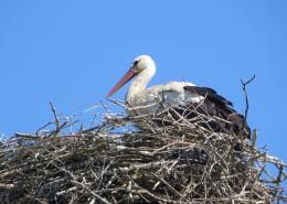 鸟巢上的白鹭图片(14张)