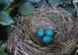 鸟巢中的鸟蛋图片(13张)
