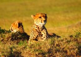 迅捷勇猛的猎豹图片(15张)