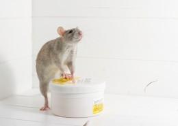 小巧可爱的老鼠图片(9张)