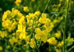 金黄色的油菜花图片(16张)