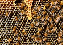 蜂巢上蜜蜂图片(16张)