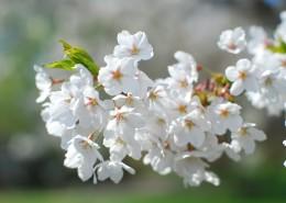 香气扑鼻的白梅花图片(15张)