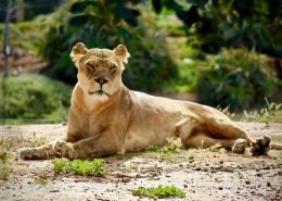 野生的母狮子图片(16张)