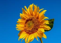 绽放的向日葵花图片(11张)