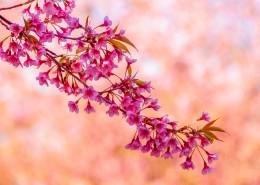 盛开似锦的樱花图片(10张)