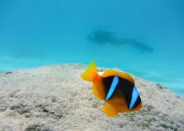 海洋中的小丑鱼图片(14张)