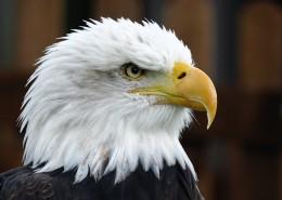 目光锐利的老鹰头部特写图片 (14张)