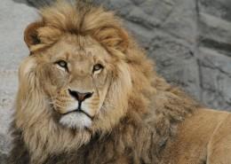 威武的雄狮图片(15张)