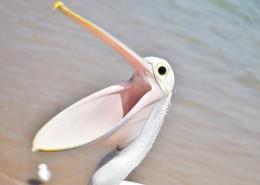 白色羽毛的鹈鹕图片(11张)
