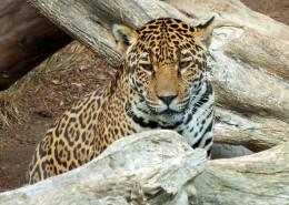 漂亮威武的金钱豹图片(16张)