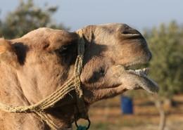 骆驼头部图片(12张)