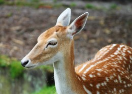 丛林中的野生梅花鹿图片(15张)