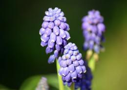 紫蓝色的葡萄风信子图片(9张)