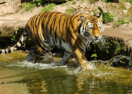 动物园里的老虎图片(16张)