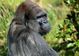 搞怪有趣的大猩猩图片(14张)