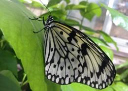 黑色斑点的蝴蝶图片(13张)