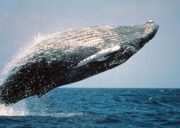 跃出水面的鲸图片(8张)