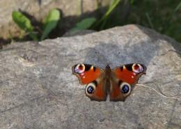 漂亮的孔雀蝴蝶图片(14张)