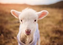 可爱的小绵羊图片(9张)