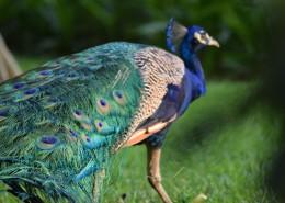 一只色彩艳丽的孔雀图片(16张)