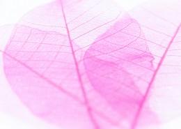 玫红色叶子素材图片(9张)