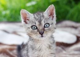 可爱灰色小猫图片(11张)