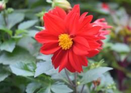盛开的红色大丽花图片(12张)