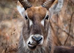 非洲羚羊图片(12张)