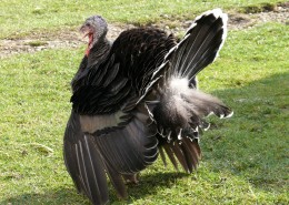 拥有金属光泽羽毛的火鸡图片(10张)