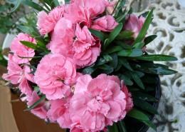柔美多色的康乃馨图片(12张)