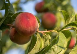 树枝上的桃子图片(16张)
