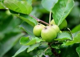 美味的青苹果图片(15张)