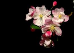 高雅的海棠花图片(22张)