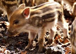 可爱的小野猪图片(12张)