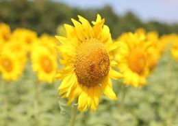 金灿灿的向日葵图片(11张)