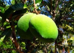 树枝上未成熟的芒果图片(12张)