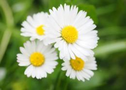 盛开的雏菊图片(12张)