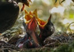 鸟巢中嗷嗷待哺的雏鸟图片(10张)