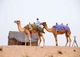 沙漠中的骆驼图片(14张)