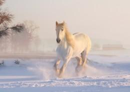 俊美的白马图片(16张)