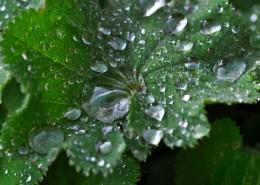 叶子上的水珠图片(15张)