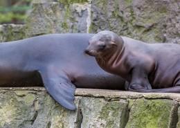 呆萌可爱的海狮图片(17张)