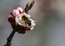 采蜜的小蜜蜂图片(12张)