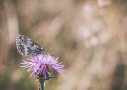 采花蜜的蝴蝶图片(10张)
