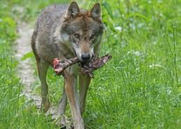 凶残的野狼图片(11张)