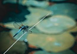 色彩斑斓的蜻蜓图片(11